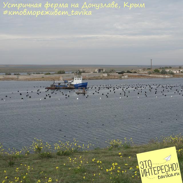 устричная ферма, Крым