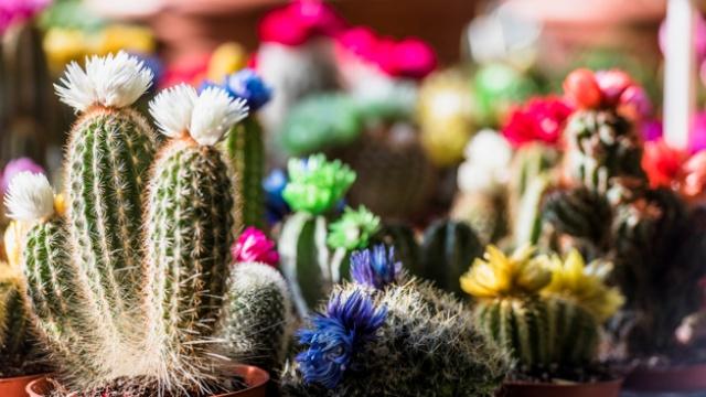 Tanaman Penghancur Santet Bunga Kaktus