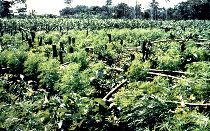 Outdoor Cannibis Cultivation Area - Source: http://www.deamuseum.org/ccp/cannabis/production-distribution.html