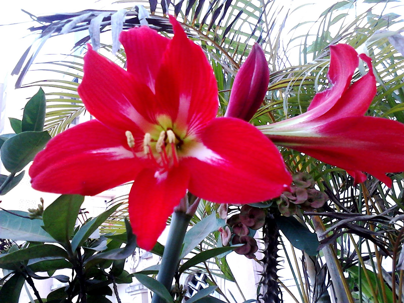Garden care simplified big amaryllis red lily flowering plant tips big red flowers of lily photo by mrs rizwana andewadi izmirmasajfo