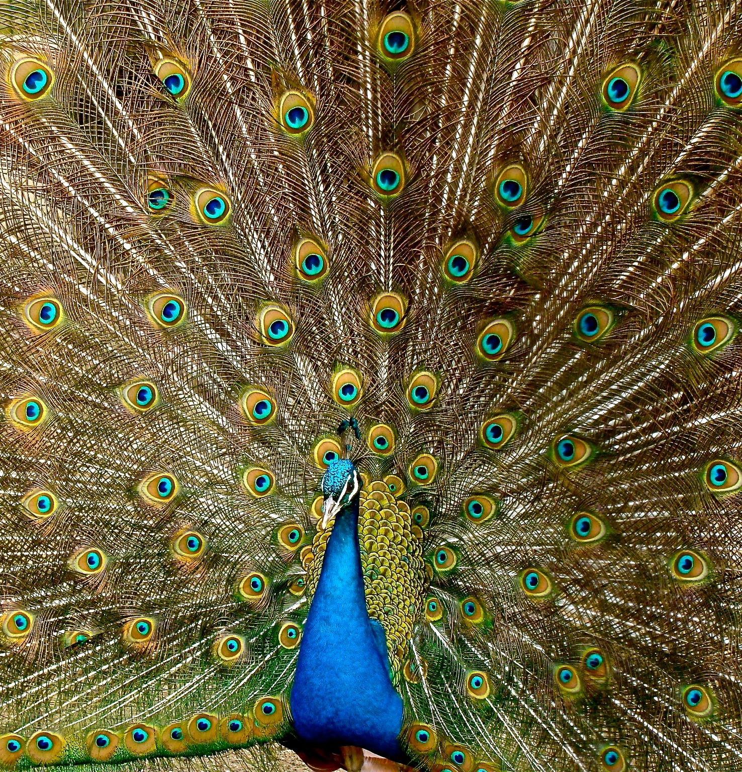 Peacock with it's tail feathers fanned out.
