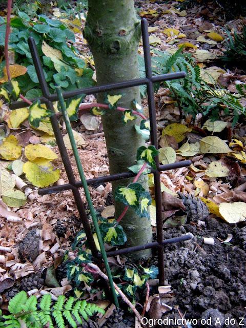 Hedera helix- odmiana o pstrych liściach