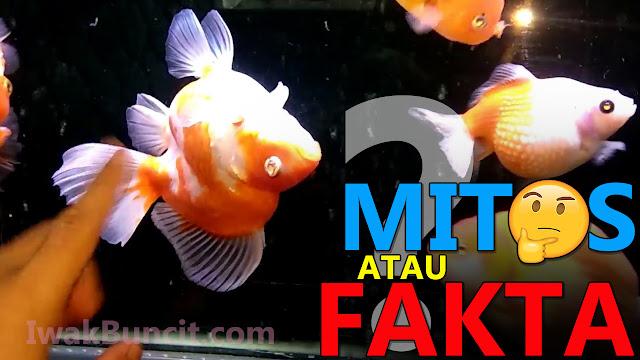 Kenapa Ikan Mas Koki Ryukin Gampang Terserang Penyakit Swim Bledder? Mungkin Ini Penyebabnya!