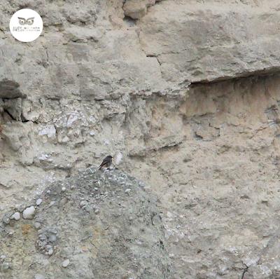 Hembra de colirrojo tizón (Phoenicurus ochruros) especie muy asociada a los roquedos.