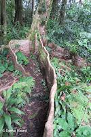 Huge ficus tree buttress roots  - Lyon Arboretum, Manoa Valley, Oahu, HI