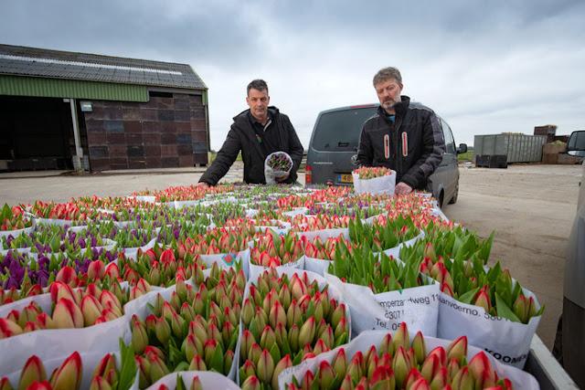 """إتلاف ملايين الزهور في هولندا بسبب فيروس """"كورونا"""""""