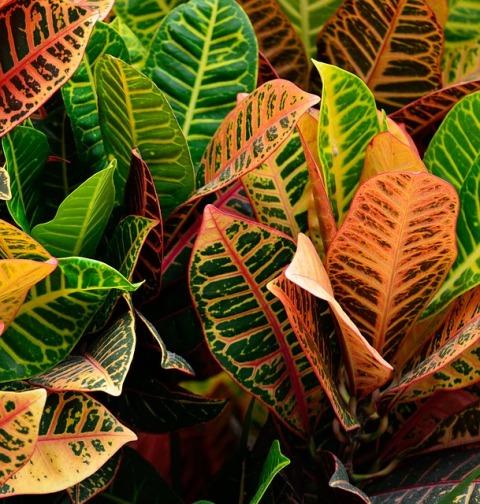 Crotons Croton plants croton tiglium croton scientific name