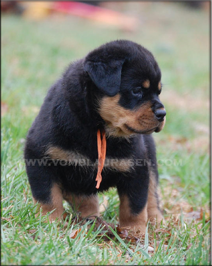 Cute Cool Pets 4u German Rottweiler Puppies And Dogs Pictures Gallery