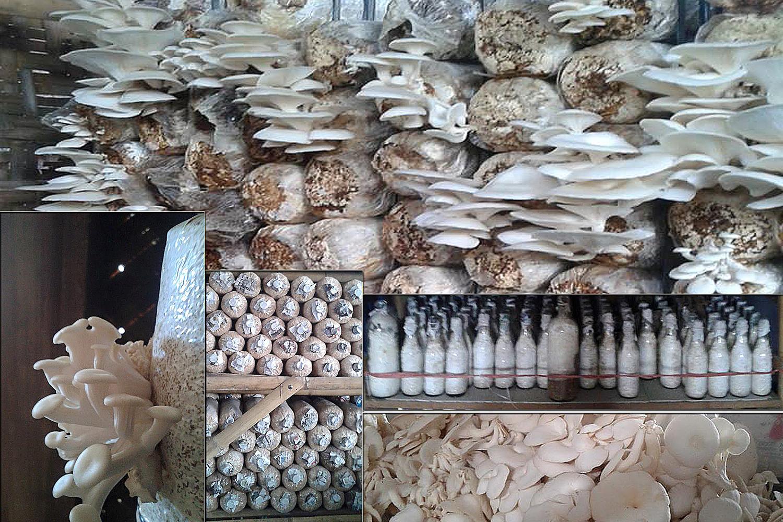 jamur tiram di bali faktor yang menyebabkan anda harus