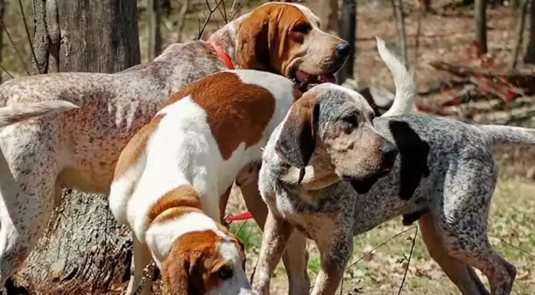 American English Coonhound Dog Breed