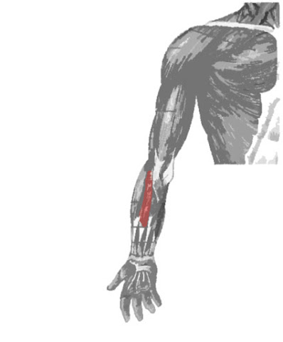 Músculo flexor radial del carpo dibujado de color rojo