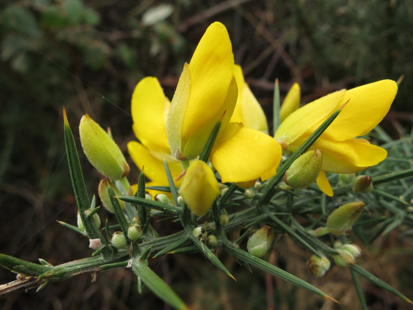 Gorse flower - close up showing prickles and buds.