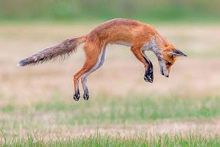 zorra-cazando