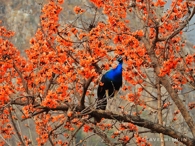 Peacock and Palash Flowers