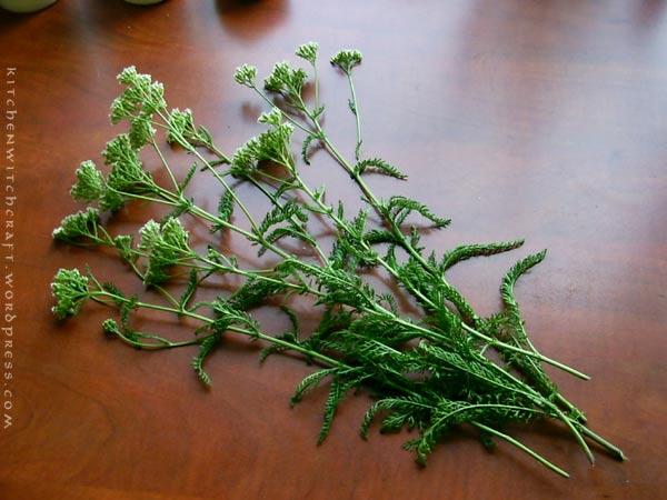 Common Yarrow (achillea millefolium) - soldier's bleedwort, woundwort