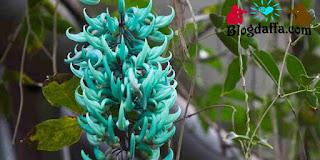 Tanaman hias langka Jade Vine