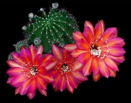 Pokok Kaktus Berbunga Cantik