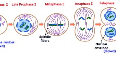 What is meiosis stages of meiosis i and ii biology exams 4 u ccuart