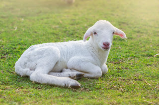Lamb sitting on a meadow