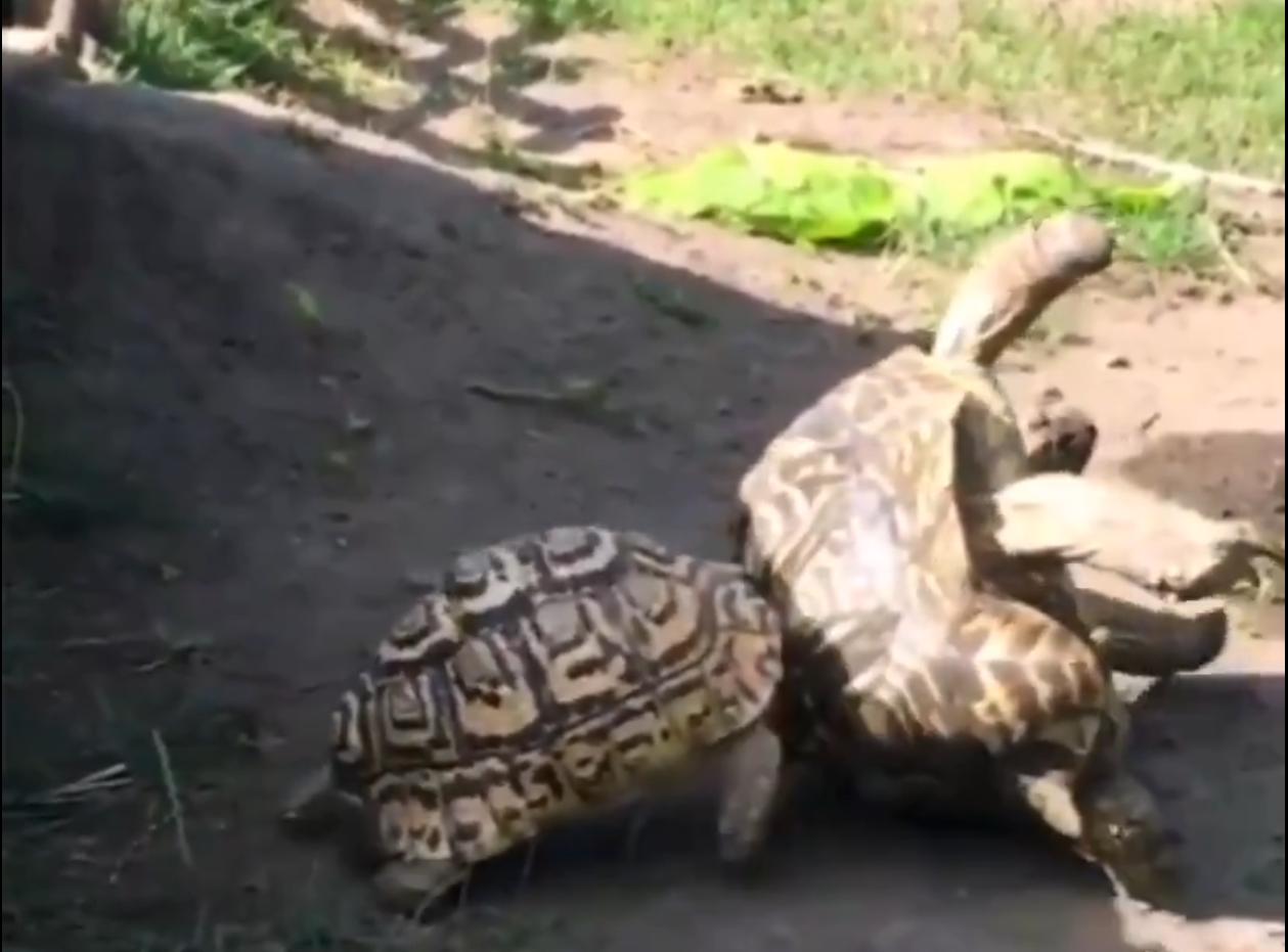 tortoise pushing another flipped tortoise