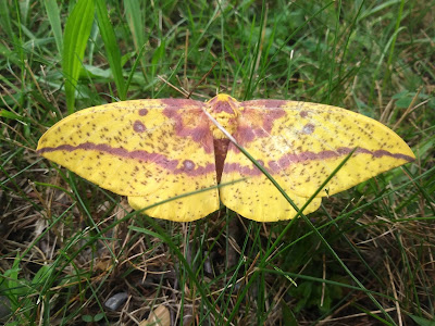 Large yellow moth with dark pink markings resting on the grass