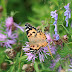 Kuluva kesä on ollut päiväperhosille suotuisa