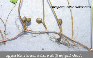 european water clover