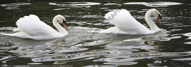 Two mute swans swimming together chasing with reflections