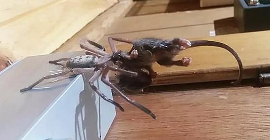 Grande Aranha devora marsupial mais pesado do que ela