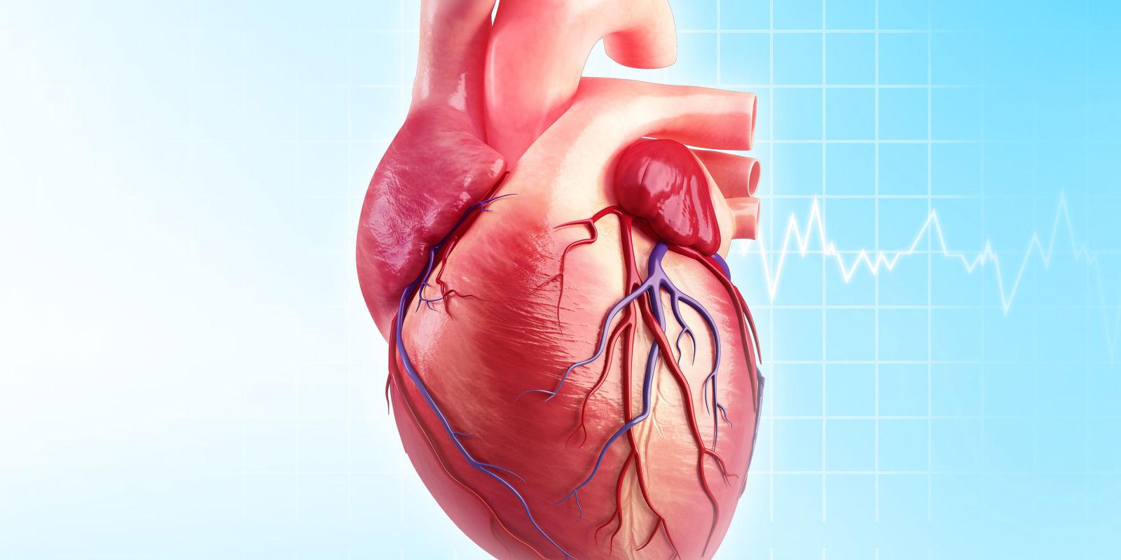 Structure of the mammalian heart