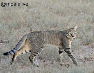 Kucing Afrika