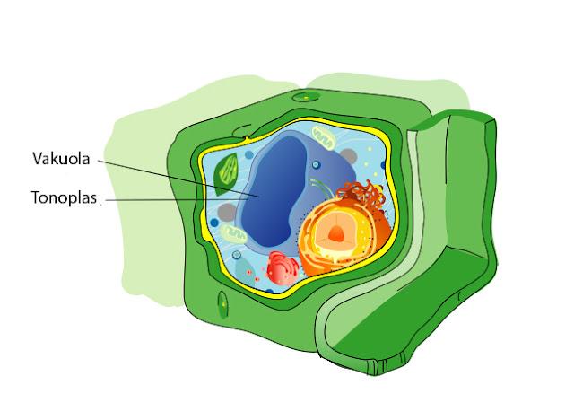 vakuola pada sel tumbuhan