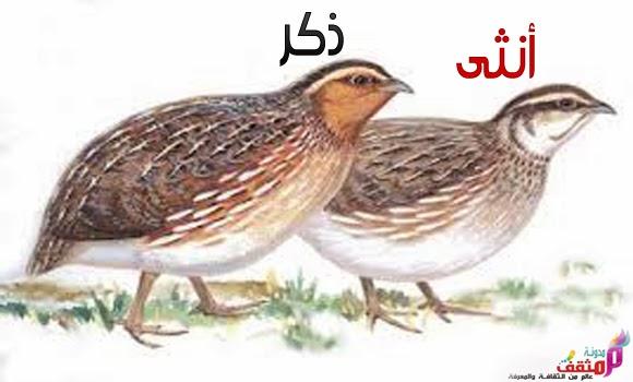 Image result for طائر الفري (السمان)