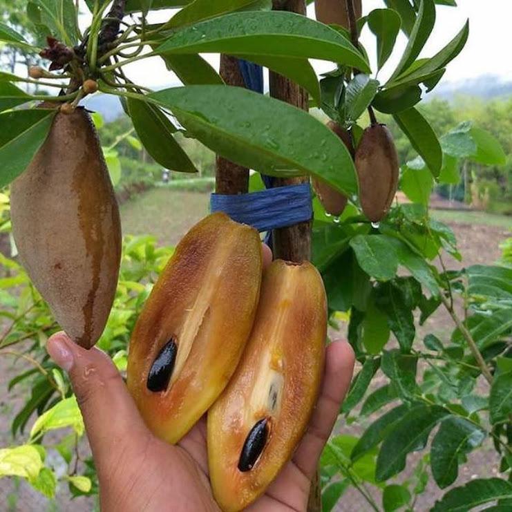 Bibit sawo mentimun sawo jumbo tanaman bibit buah Kalimantan Selatan