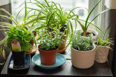 Grow Kings - herbs in an indoor garden