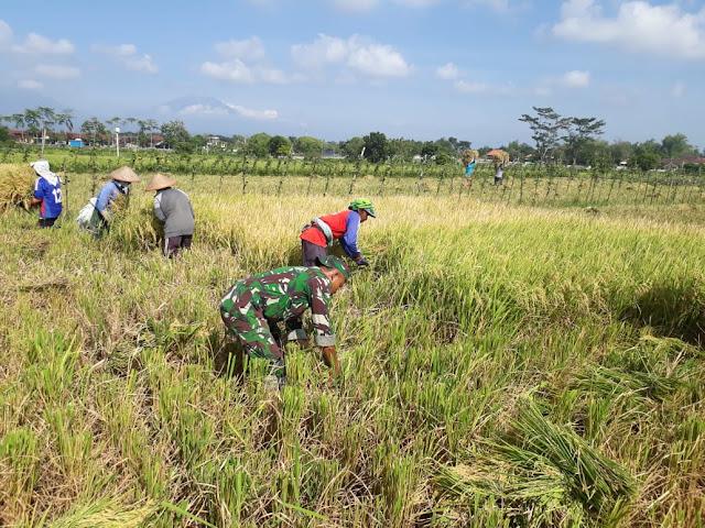 Keterlibatan Babinsa Dalam Upaya Khusus Pertanian Polanharjo