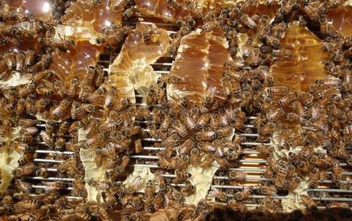 Πως θα πάρουμε πάτωμα γεμάτο μέλι με χρήση βασιλικού διαφράγματος