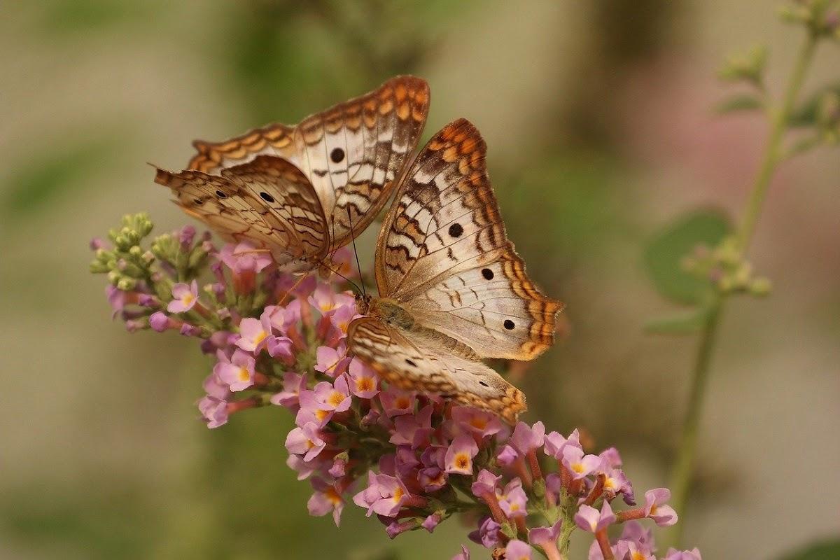 Download Wallpaper the beuty of a butterfly when it is on a flower petal
