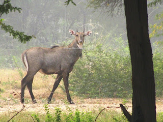 Blue bull, Neelgai, Boselaphus tragocamelus, State Animal of National Capital Territory of Delhi, largest Asian antelope