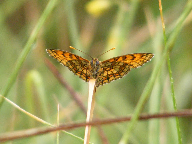 Heath Fritillary Melitaea athalia.  Indre et Loire, France. Photographed by Susan Walter. Tour the Loire Valley with a classic car and a private guide.