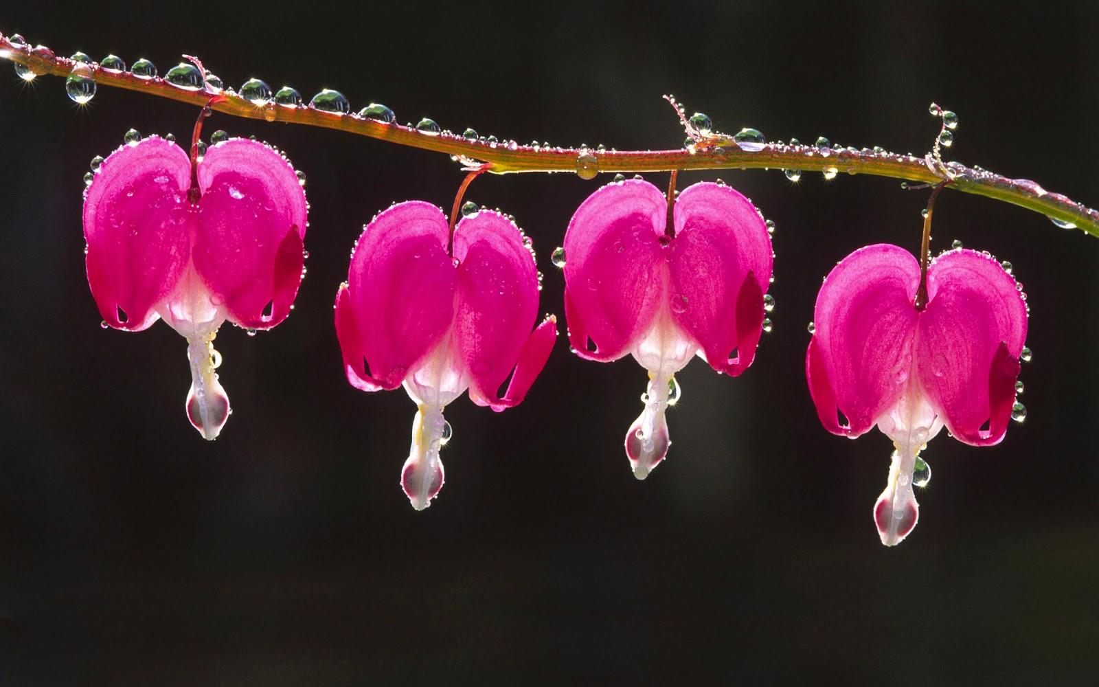 hình nền cánh hoa và những giọt nước long lanh