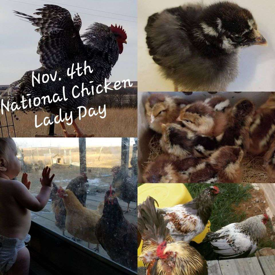 National Chicken Lady Day Wishes Photos