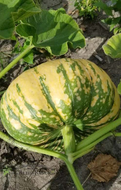 Growing Pumpkins, Gourds, Sunflowers ,Bliss-Ranch.com