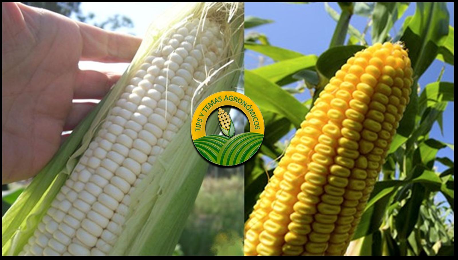 Diferencias Nutricionales Entre Maíz Blanco Y Amarillo
