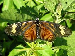 Mariposa perezosa de otoño Actinote pyrrha