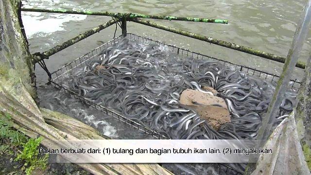 Contoh Kolam Belut