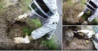 Ένας μελισσοκόμος στην Νέα Ζηλανδία προσπαθεί να αφαιρέσει μια φωλιά με σφήκες. video