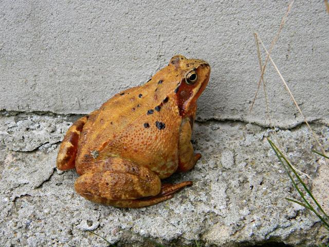 żaba trawna, ubarwienie