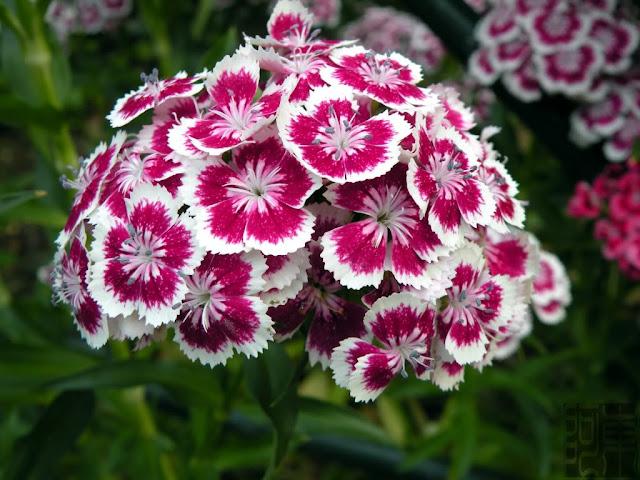 Bán hạt giống hoa cẩm chướng