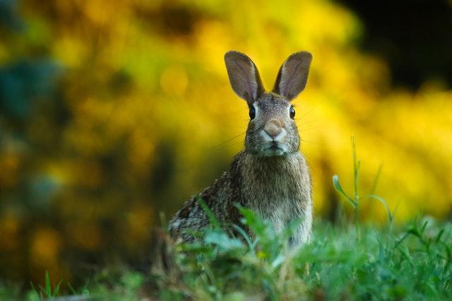 Keunikan kelinci